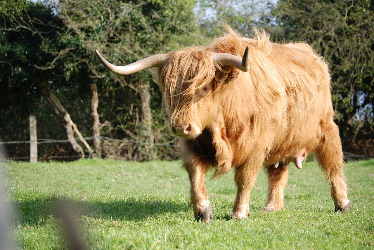 highland-cattle-364502_1280