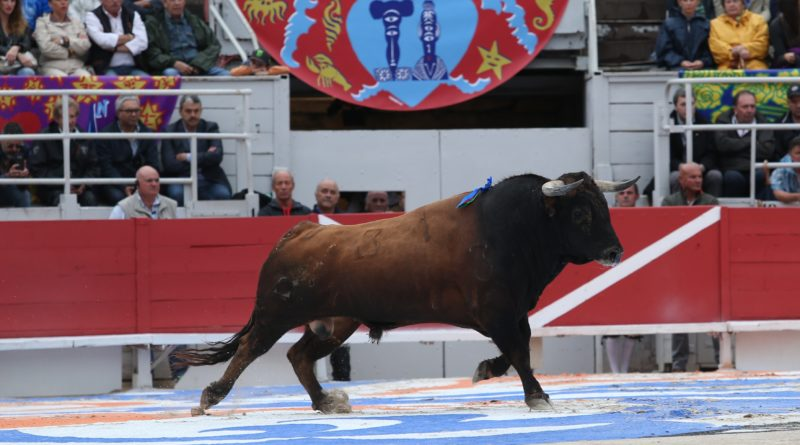 Premier toro de Domingo Hernandez (Photo Anthony Maurin).