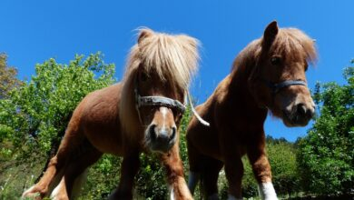 Photo of NÎMES Moutons et poneys s'installent au Bois des noyers